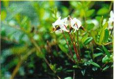 żurawina -rzadka roślina